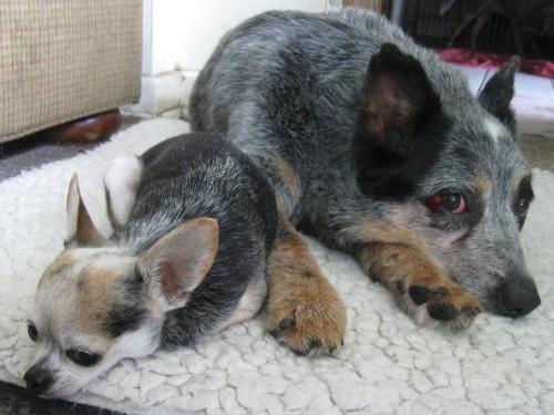 Dixxy & her 3 lb. boyfriend, Gus.